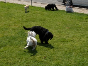 The Poodle playing in a SoCal dog park.