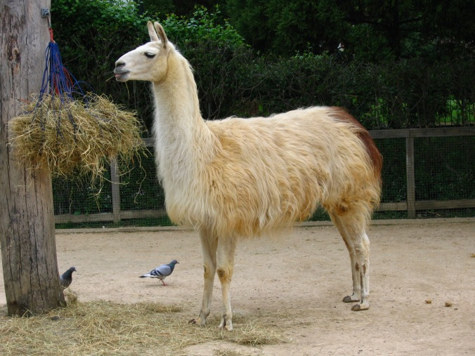 Llama beauty