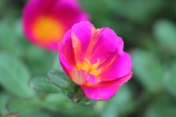 Portulaca beauty