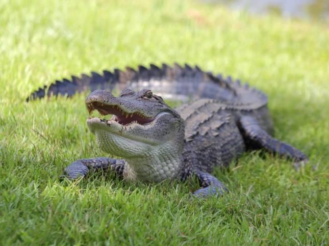 """George-the-Gator"" by Jeffrey Lobaugh"
